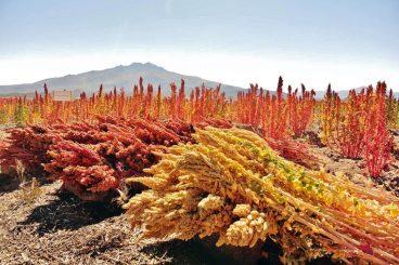 quinoa vitaminas aminoácidos esenciales nutrimiento vegetal vegano  LAS PATATAS: EL ALIMENTO DE LOS DIOSES