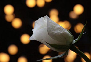 rosa blanca luces GUÍA PARA EL AMOR: CÓMO ENAMORAR A UNA MUJER