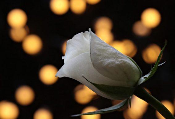 fiore  rosa bianca luce romantico GUIDA ALL'AMORE: COME CONQUISTARE UNA DONNA