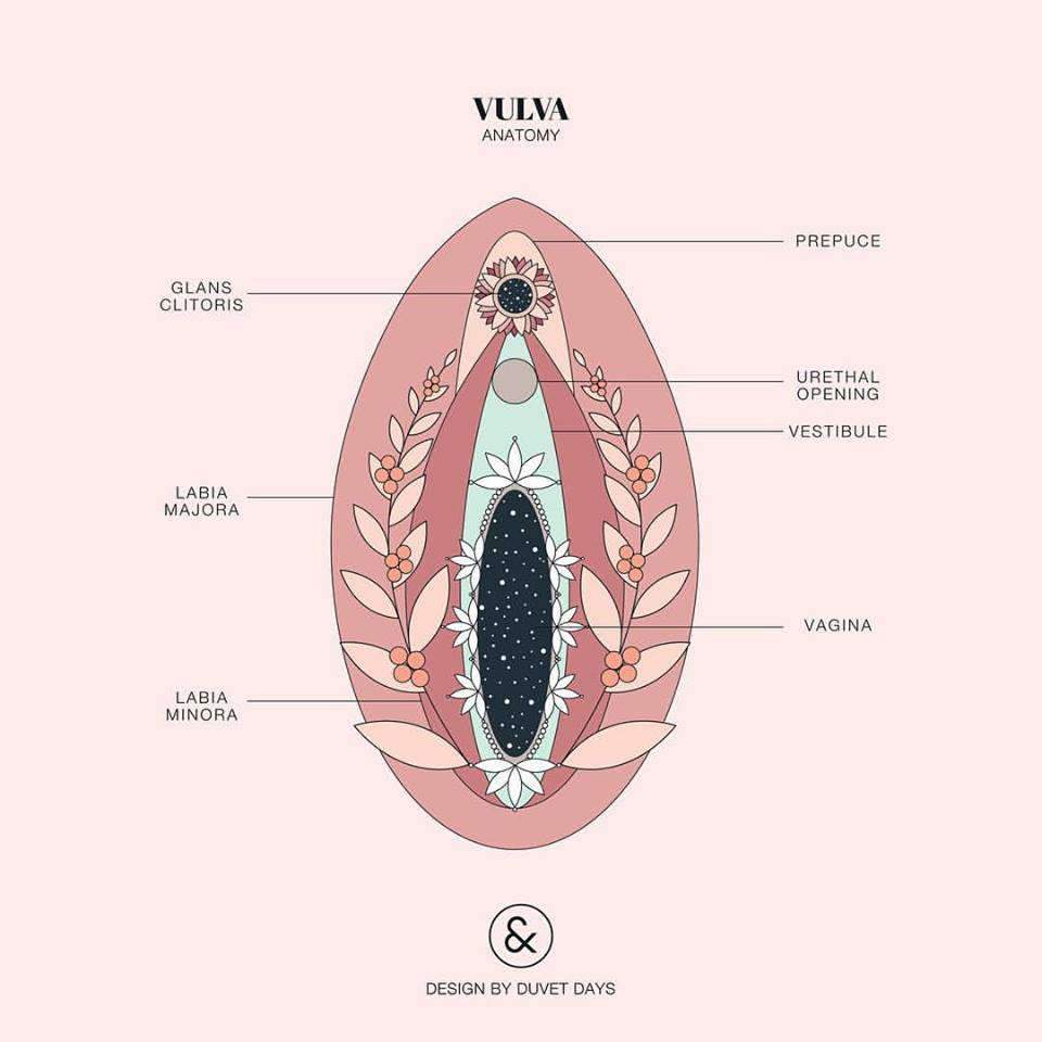 medium resolution of vulva