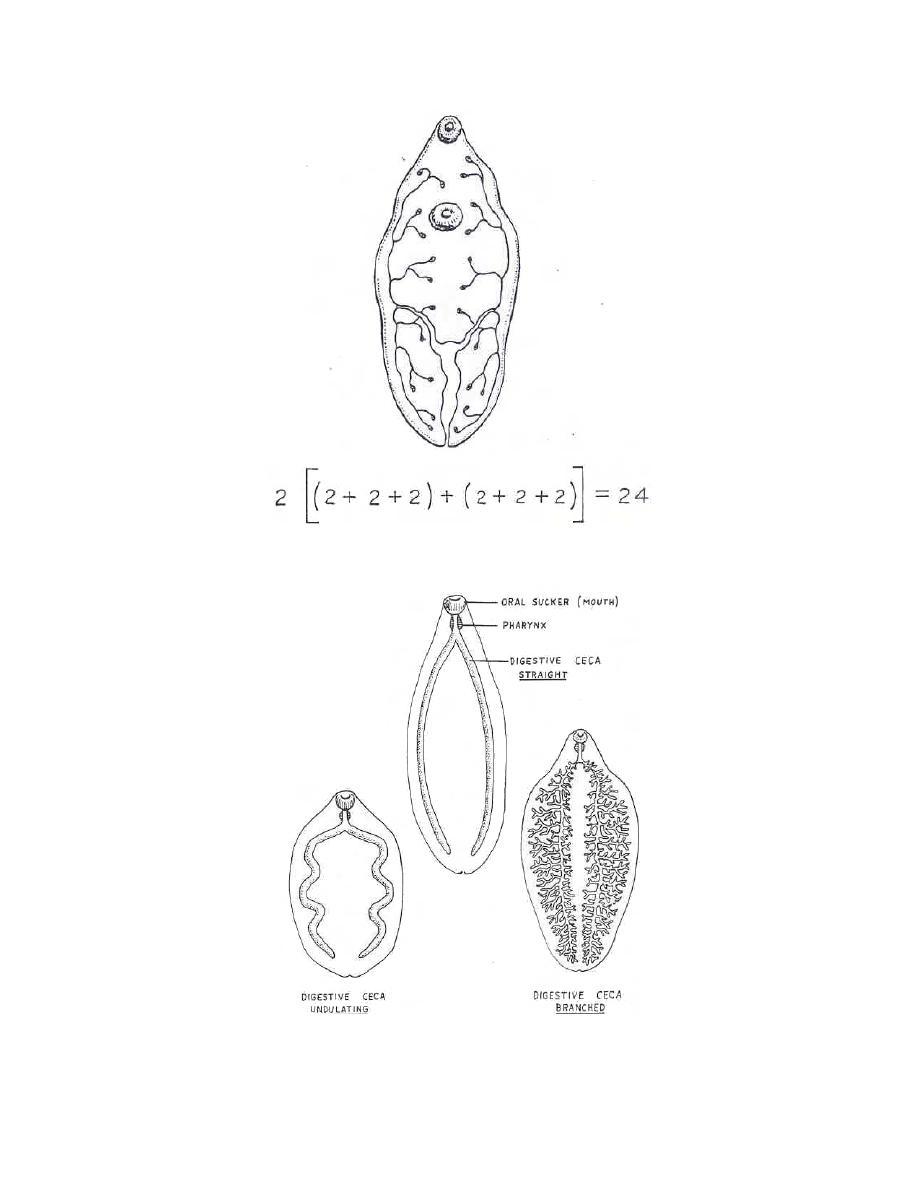 Figure 3-3. Osmoregulatory system of a fluke