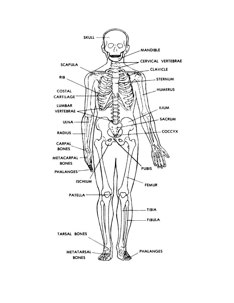 worksheet. The Skeletal System Worksheet Answers