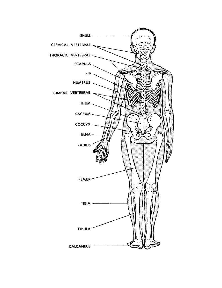 hight resolution of blank diagram of human skull