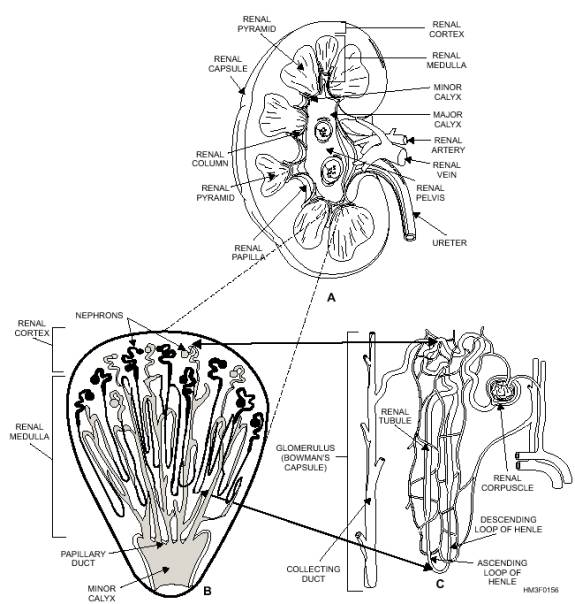 Seng Nduwe Ngamuk: distal convoluted tubule
