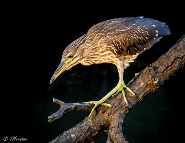 Juvenile Black Crowned Night Heron