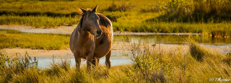 Wild Horse in Chincoteague, VA
