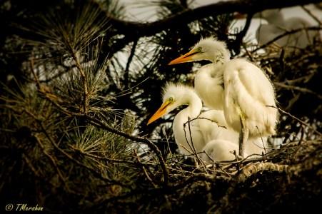 Baby Egrets