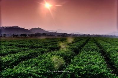 ไร่เสาวรส Passion Fruit Field