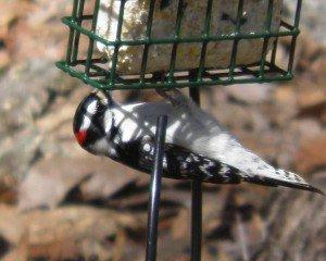 Upside Downy Woodpecker