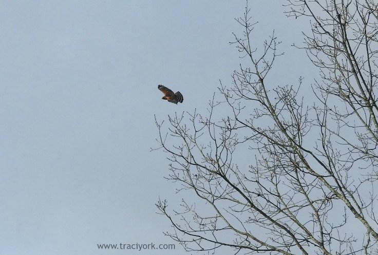 Hawk rounding the corner