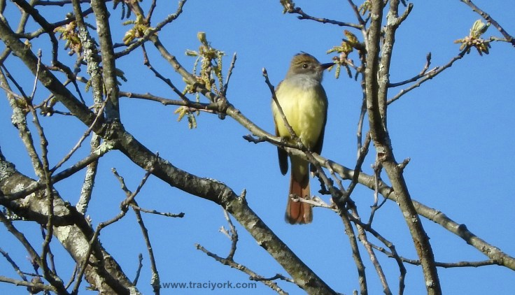 My first spotting of a Great Crested Flycatcher!