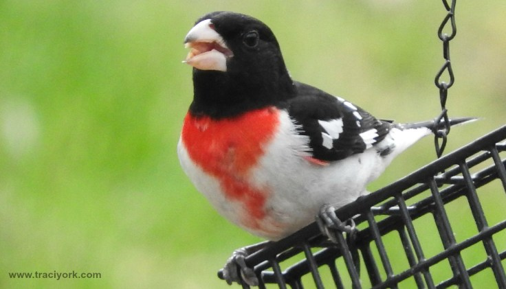 "Rose-breasted Grosbeak says, ""Smile!"""