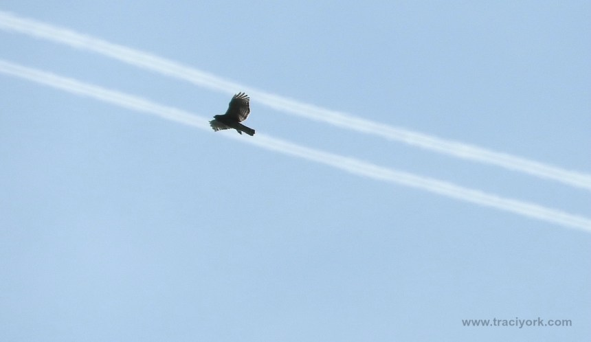 Hawk riding the contrails