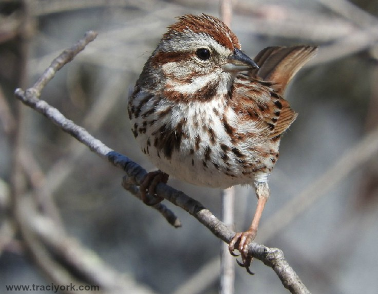 "Foto Friday 9 Song sparrow asks, ""Is this my good side, or..."""