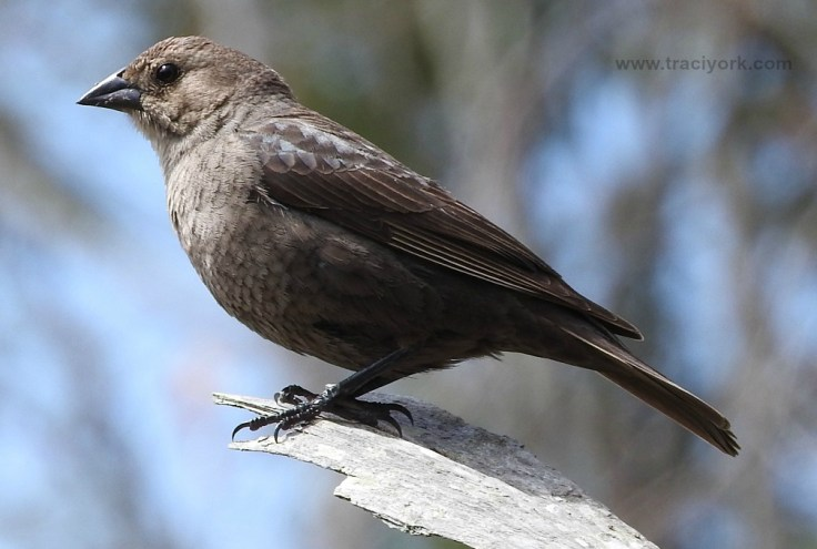 Mrs. Brown-headed Cowbird