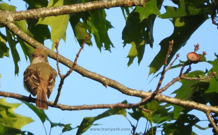 Great Crested Flycatcher in the tree top