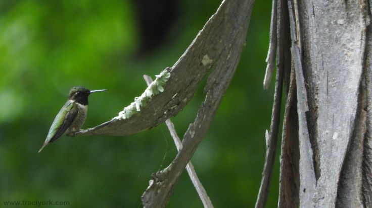 Foto Friday 13 Hummingbird on the Shagbark