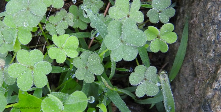 Dewdrops on clover