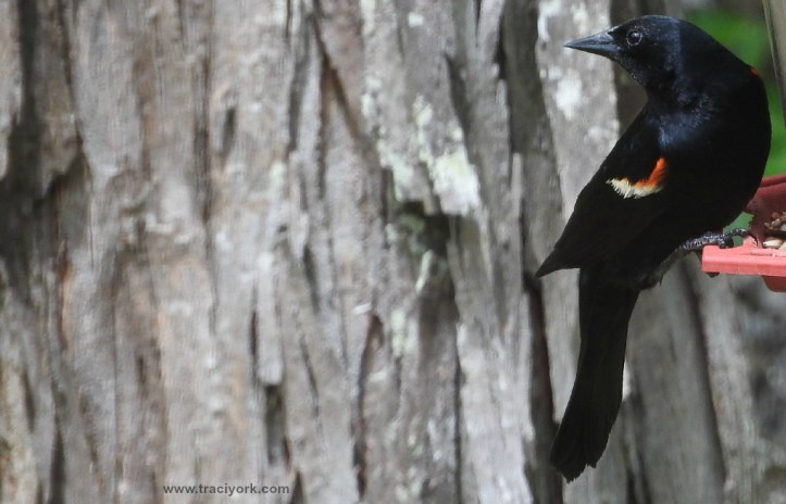 Red-winged Blackbird in front of the Shagbark Hickory
