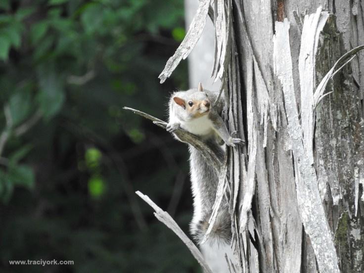 Grey squirrel spotting something