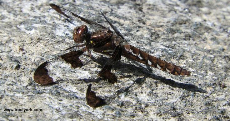 Dragonfly on a granite stone