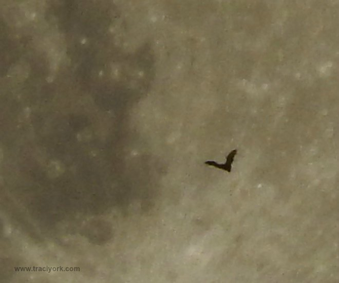 Bat and the Full Moon, cropped and enlarged