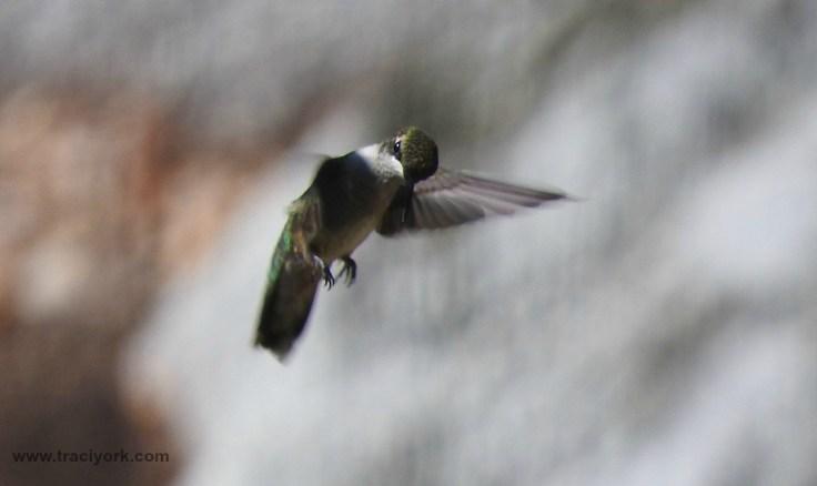 Hummingbird angry at the paparazzi