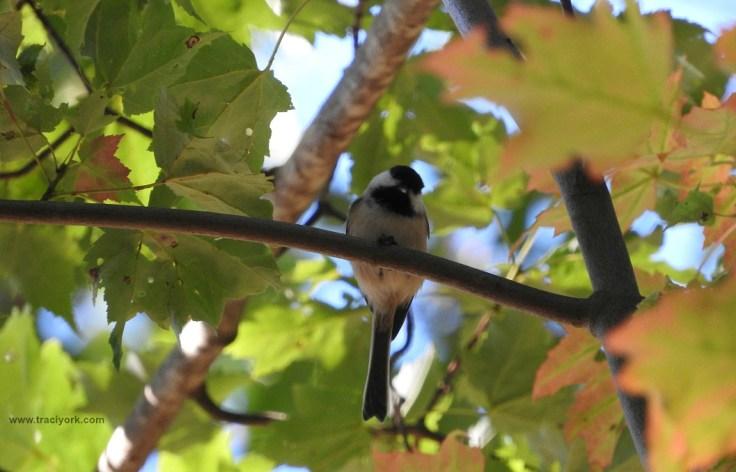 Black-capped Chickadee peeking down at me
