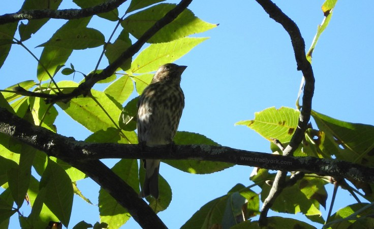 I think this is a juvenile Rose-breasted Grosbeak