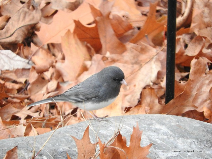 Foto Friday 37 Junco in the leaves