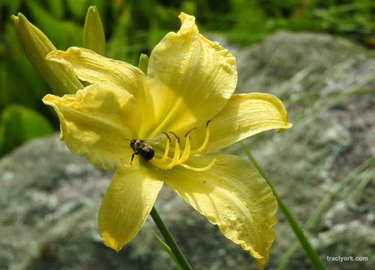 Dragonflies, Daylilies, and Daisies