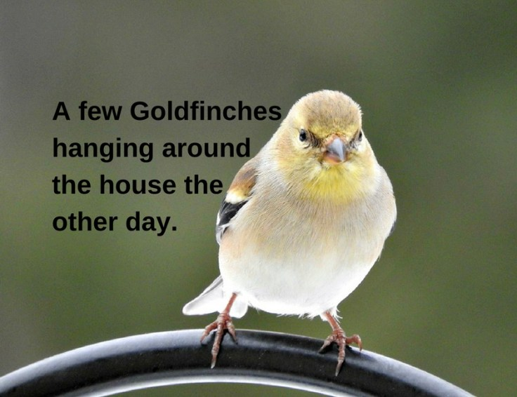 Goldfinches hanging around the house