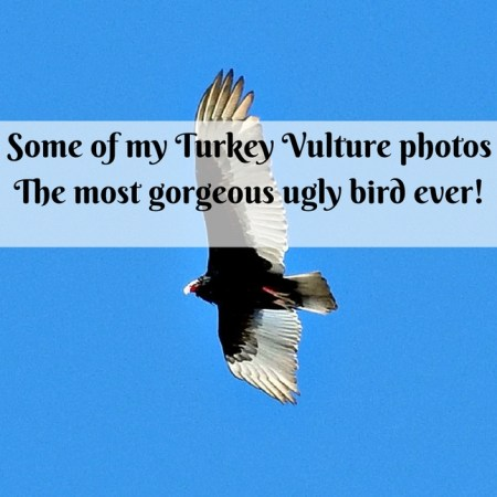 Some of my Turkey Vulture photos - the most gorgeous ugly bird ever!