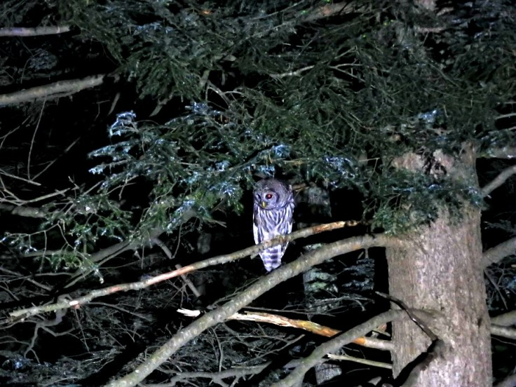 Baby Owl by night, momma owl by day
