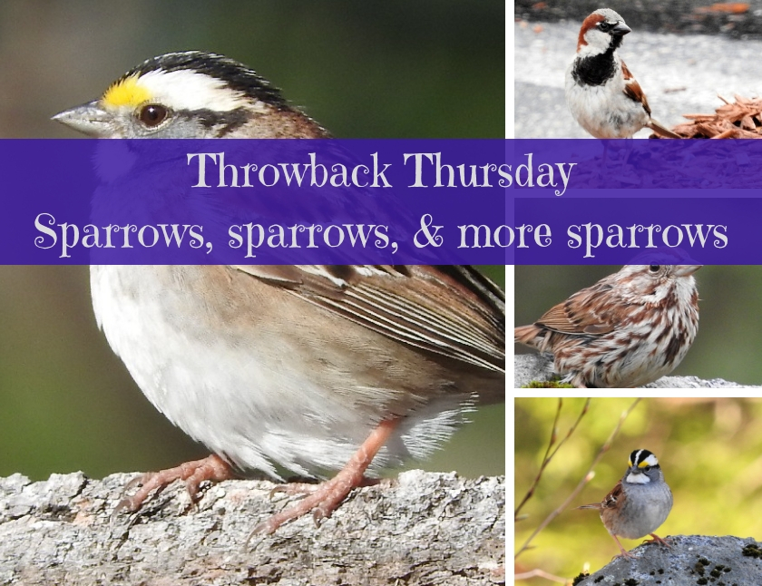 Throwback Thursday - Sparrows, sparrows, and more sparrows blog thumbnail