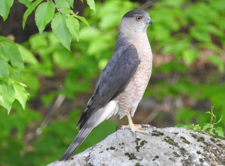 12 Hawk photos