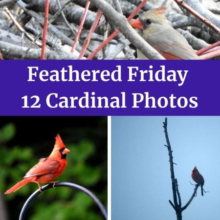 Feathered Friday 12 Cardinal Photos