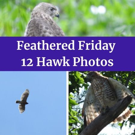 12 Hawk photos