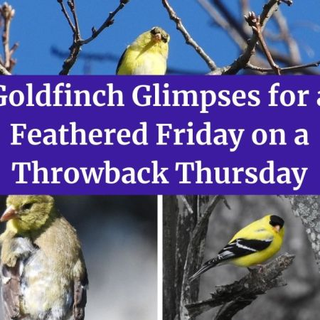 Goldfinch Glimpses for a Feathered Friday on a Throwback Thursday