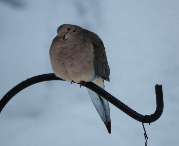 12 Mourning Dove Photos