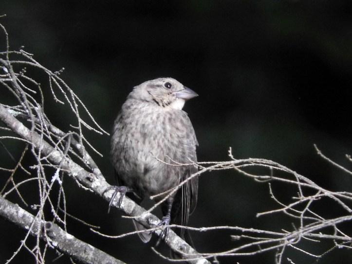 Female Brown-headed Cowbird