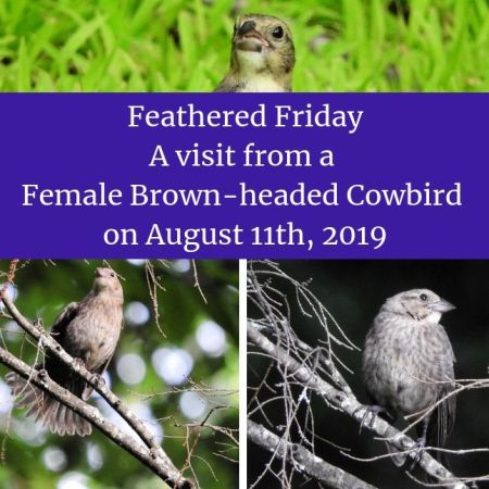 Feathered Friday - A visit from a Female Brown-headed Cowbird on August 11th, 2019