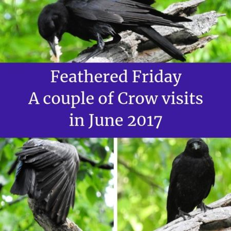 Feathered Friday - a couple of crow visits in June 2017