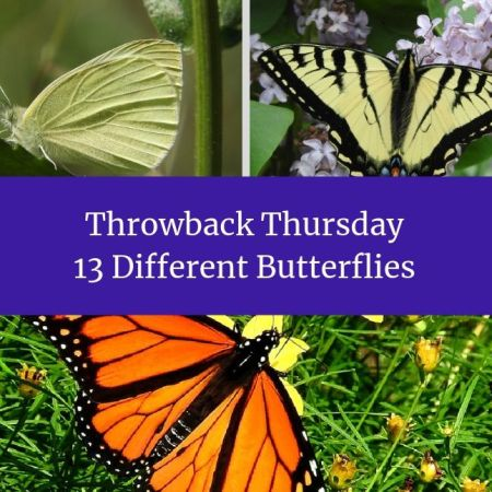 Throwback Thursday - 13 Different Butterflies blog thumbnail