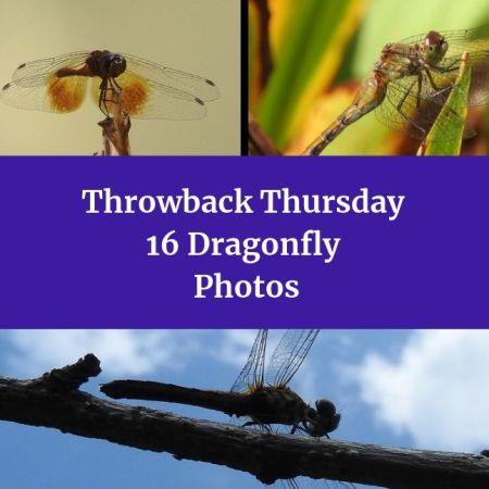 Throwback Thursday - 16 Dragonfly Photos blog thumbnail