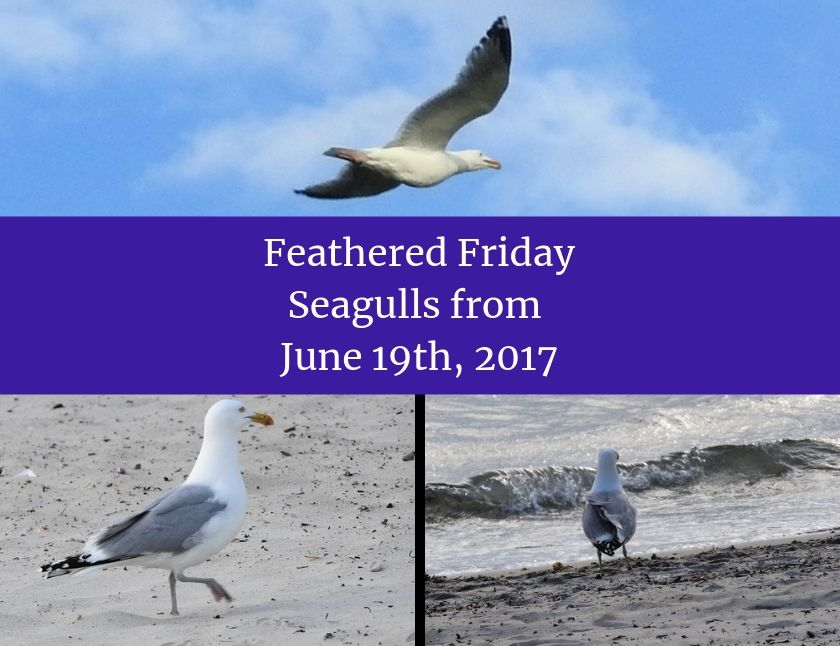 Feathered Friday - Seagulls from June 19th, 2017
