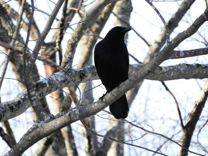 Crow Visit from February 24th 2017