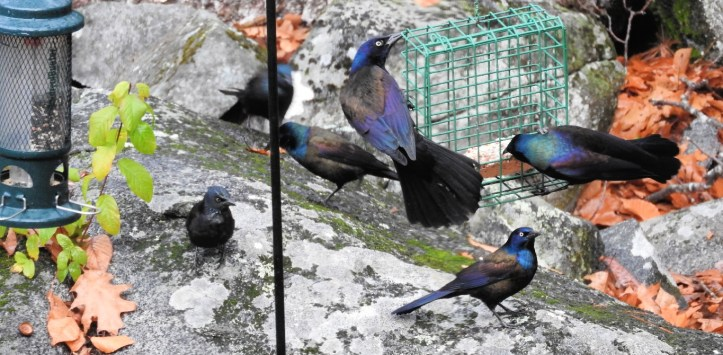 Awesome Annoyance of Grackles