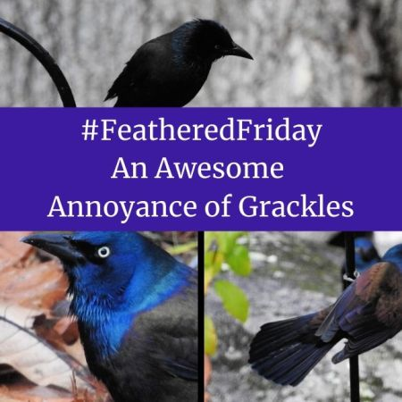 Feathered Friday – An Awesome Annoyance of Grackles blog thumbnail