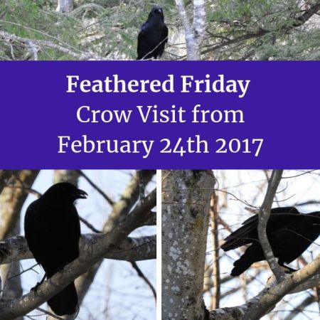 Feathered Friday Crow Visit from February 24th 2017